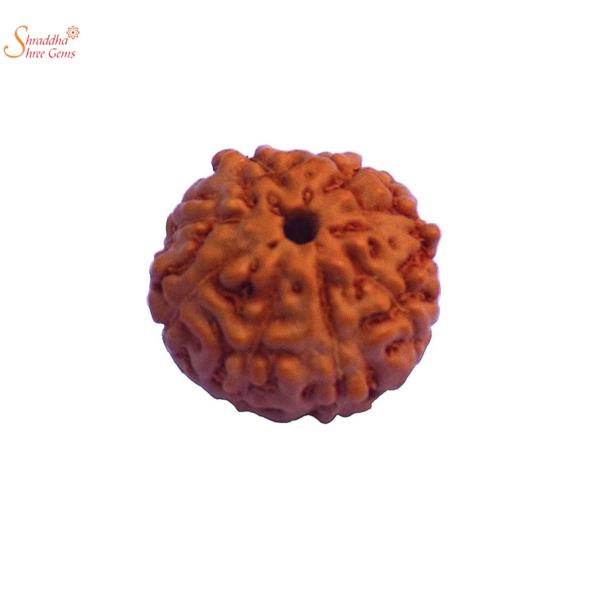 8 mukhi/face loose rudraksha of Nepal