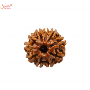 Natural And Certified 10 Mukhi/Face Loose Rudraksha | Origin Of Nepal
