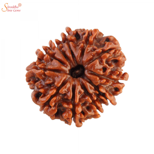 Natural And Certified 11 Mukhi/Face Loose Rudraksha | Origin Of Nepal