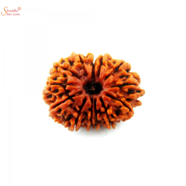13 mukhi/face loose rudraksha of Nepal