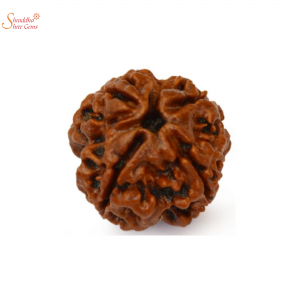 natural and certified 4 mukhi/face loose rudraksha