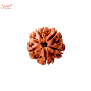 Natural and certified 5 mukhi/face loose rudraksha of Nepal