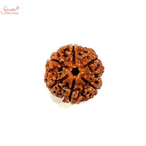 natural and certified 6 mukhi/face loose rudraksha