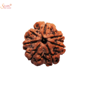 Natural And Certified 7 Mukhi/Face Loose Rudraksha | Origin Of Nepal
